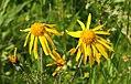 Arnika Blüte auf den Fichtelbergwiesen. . 2H1A0139WI.jpg