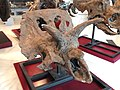 Arrhinoceratops brachyops skull, Near Drumheller, Alberta, Late Cretaceous - Royal Ontario Museum - DSC00076.JPG