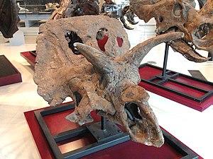 Arrhinoceratops - Arrhinoceratops brachyops at the Royal Ontario Museum