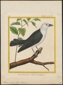 Artamus viridis - 1700-1880 - Print - Iconographia Zoologica - Special Collections University of Amsterdam - UBA01 IZ16400139.tif