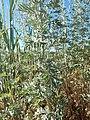 Artemisia absinthium (28532277412).jpg