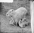 Artis-nieuws. Capibara met vijf jongen, Bestanddeelnr 912-7509.jpg