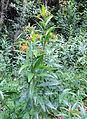 Asclepias curassavica kz2.JPG