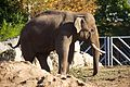 Asian Elephant at Chester Zoo 3.jpg