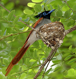 Asian Paradise Flycatcher (Terpsiphone paradisi)- male at nest W IMG 9319.jpg