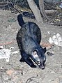 Asian or Common Palm Civet Paradoxurus hermaphroditus Chambal by Dr. Raju Kasambe (6).JPG