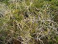 Asparagus umbellatus (La Fajana) 02 ies.jpg