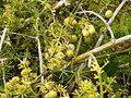 Asparagus umbellatus (La Fajana) 08 ies.jpg