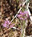 Aspen onion Allium bisceptrum flowerheads.jpg