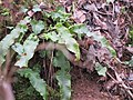 Asplenium scolopendrium 1 - jelenski jezik.jpg