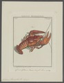 Astacus fluviatilis - - Print - Iconographia Zoologica - Special Collections University of Amsterdam - UBAINV0274 097 01 0004.tif