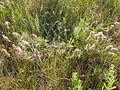 Astragalus adsurgens (3751078756).jpg