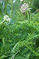Astrantia major-4896 - Flickr - Ragnhild & Neil Crawford.jpg