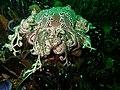 Astrocladus euryale 15700621.jpg
