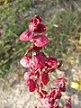 Atriplex hortensis sl15.jpg