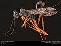 Aulacid wasp (Aulacidae, Pristaulacus spp.) (35928694713).jpg