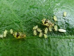 Aulacorthum ( Neomyza) circumflexum. Crescent-marked lily aphid - Flickr - gailhampshire.jpg