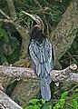 Australasian Darter JCB.jpg