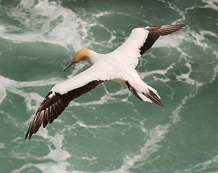 Australasian Gannet (Morus serrator) in flight, from above.jpg