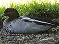 Australian wood duck 10.jpg