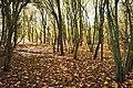 Autumn - yellow Poplar leaves (44443470090).jpg