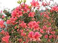 Azaleas on Mount Guifengshan in Macheng City, Huanggang, Hubei 1.jpeg