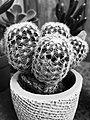 B&W Cactus Plant (28708846233).jpg