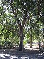 BCBG Ficus Benjamina 01.JPG