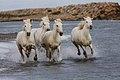 BH5U1074 chevaux de Camargue dans les marais près des Saintes Maries de la Mer.jpg