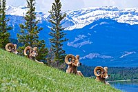 "BIghorn sheep ""chilling on the hill"".jpg"