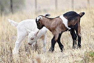 Baby goats jan 2007.jpg
