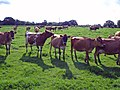 Backford - dairy herd on the North Cheshire Way - geograph.org.uk - 253864.jpg
