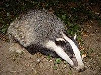 Badger-badger.jpg