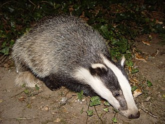 Badger culling in the United Kingdom - A European badger (Meles meles)