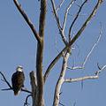 Bald eagle (Haliaeetus leucocephalus) (6345963297).jpg