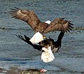 Bald eagles fighting June 2006.jpg