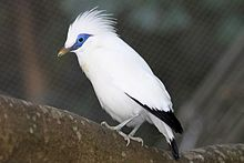 White bird with dark wing and tail feathers and a blue mask