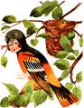 Baltimore Oriole-Bird Children-0033-19.png
