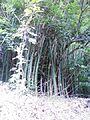 Bambusa vulgaris Schrad. ex J.C.Wendl. - La Lagunita 2013 002.jpg