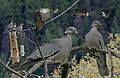 Band-tailed Pigeon From The Crossley ID Guide Eastern Birds.jpg