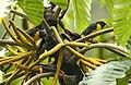 Bangsia arcaei -Costa Rica-8.jpg
