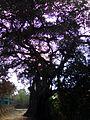 Banian tree.jpg
