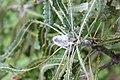 Banksia prionotes early bud Gnangarra 2.jpg
