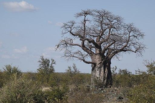 Baobab Tree-001