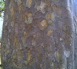 Bark of Annogeissus latifolia.jpg