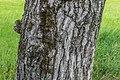 Bark of Juglans regia 01.jpg