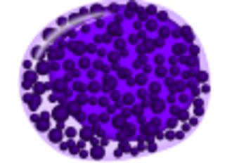 Myelocyte - Image: Basophilic myelocyte