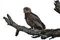 Bateleur (Terathopius ecaudatus) juvenile (16621765211).jpg