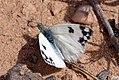 Bath white (Pontia daplidice laenas).jpg
