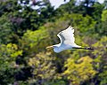 Bay Area Park Egret 2 (6129002892).jpg